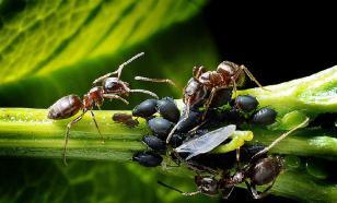 Ученые обнаружили новый вид муравьев-камикадзе
