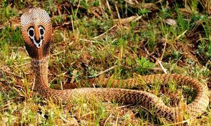 Профессиональный охотник на змей погиб от укуса кобры
