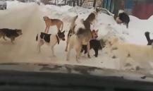 Жителю Чувашии грозит тюрьма за сбитых бездомных собак