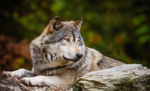 Фермеры Франции готовы выйти на массовый отстрел волков