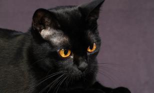 Породы кошек, которые любят собак
