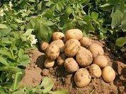 Отец зарезал сына за пару картофелин