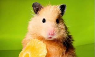 Факты о хомяках: диета, привычки и типы хомячков. Часть 2