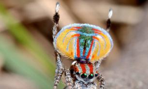В Австралии обитает паук необычной окраски