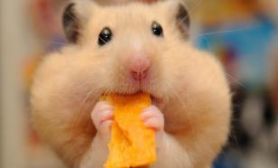 Что ест хомяк в домашних условиях