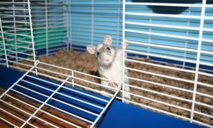 Как выбрать и обустроить клетку для домашней крысы