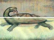 Угольная черепаха - гроза крокодилов