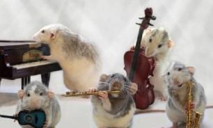 Дрессировка домашней крысы