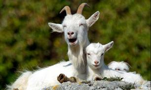2000 коз в грузовом отсеке заставили сингапурский самолет аварийно сесть на Бали