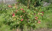 Стелющийся сад: урожай при суровом климате