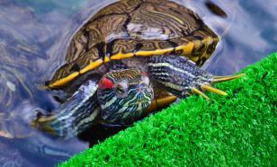 Почему красноухая черепаха не ест и много спит?