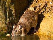 Роспотребнадзор: Москву атакуют миллионы крыс