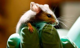 """Бразильские """"зеки"""" сделали своим наркокурьером мышку"""