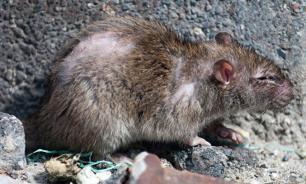Нашествие крыс в библиотеке Штутгарта