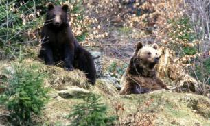 На Дальнем Востоке увеличилась популяция медведей