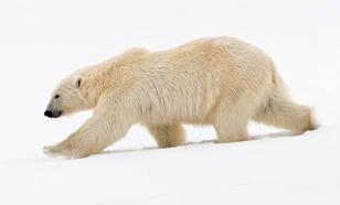 Жестокое убийство медведя взрывпакетом возмутило минприроды