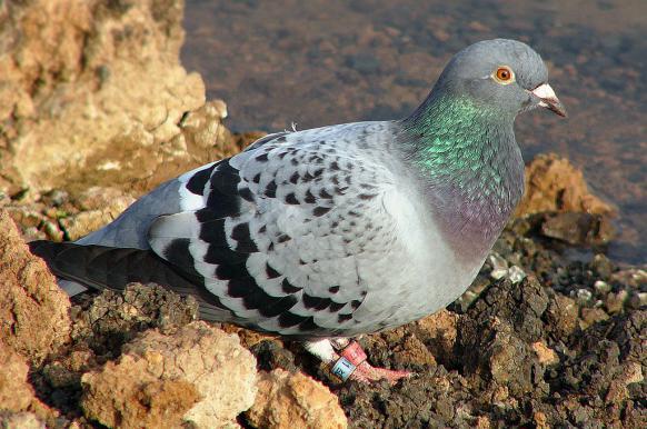 Китаец купил в Бельгии голубя за 1,25 млн евро