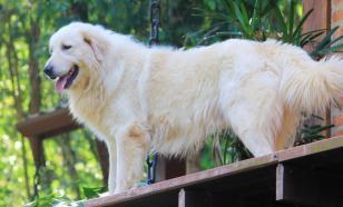 Пиренейская горная собака: история породы, характер, уход