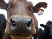 Василий Комлацкий: Мясо пусть производят мелкие фермеры
