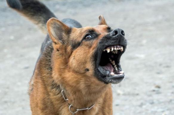 Итальянские ученые: самые агрессивные собаки в стае - среднего размера