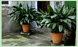 Самые живучие домашние растения