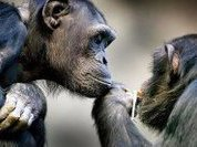 Шимпанзе охотно служат в полиции