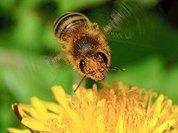 Раскрыта тайна  мягкой  посадки пчелы