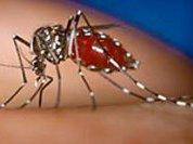 Комары-супермены больны лихорадкой