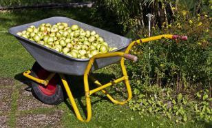 Австралийские ученые: чай и яблоки защищают от рака и болезней сердца