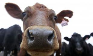 """Водитель """"КамАЗа"""" выбрасывал живых коров как мусор"""