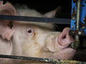 Заключенных кормили сосисками с чумой