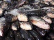 Рыбный скандал: минтай превращается…