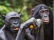 Ученые: Шимпанзе любят готовить себе еду