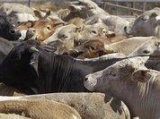 Минсельхоз: К производителям молока, получающим субсидии, практически не предъявляется никаких требований