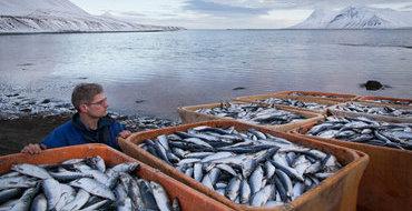 Замену норвежской рыбе нашли в Исландии