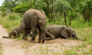 Мельница мифов: слоны - вовсе не алкоголики!