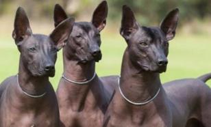 Перуанские собаки - божества, сошедшие на Землю