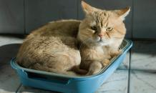 Цистит у кошки: симптомы, причины, лечение