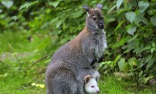 Удивительные факты про кенгуру