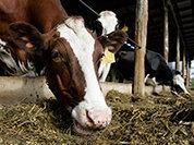 Эксперт: В России есть все возможности для производства говядины. Иные утверждения - саботаж