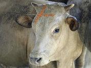 Мясо и молоко уральских ферм получило золото