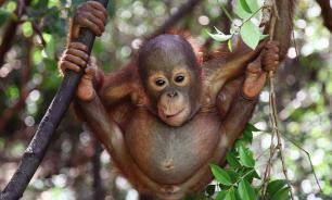 На Бали дали тюремный срок россиянину, пытавшемуся вывезти орангутана