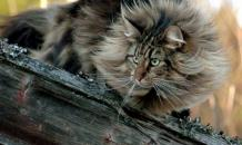 Норвежская лесная кошка: история породы, характер, уход