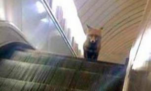 В столичном метрополитене прокатилась лиса