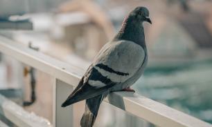 Мэр Магадана пригрозил штрафовать жителей, подкармливающих голубей