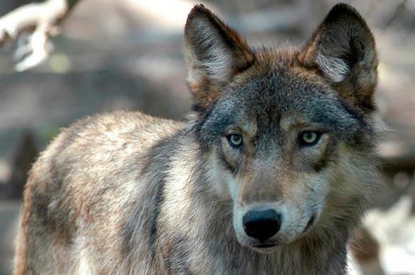 Воины-волки: зачем люди ели собак четыре тысячи лет назад