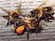 Секреты эусоциальности насекомых