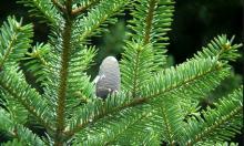 Пихта Фразера - лучшее новогоднее дерево