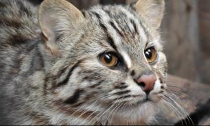 В Московском зоопарке поселилась амурская лесная кошка