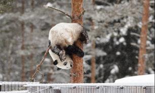 В Китае панды встретили первый снег